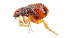 Flea pest control Sydney