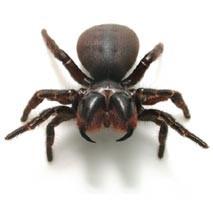 Spider Pest Control Sydney